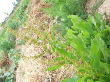 rumes-semillero