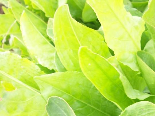 rumex-silvestre-acido-sylvestre-limon