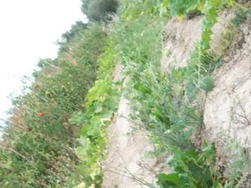 sandia-antiqua-tomate-berbastro