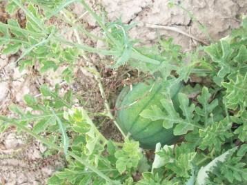 sandia-rayas-antiqua