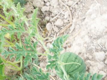sandia-verde-antiqua