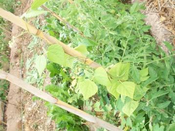 tomate-acelga-bianual-judia-enrame