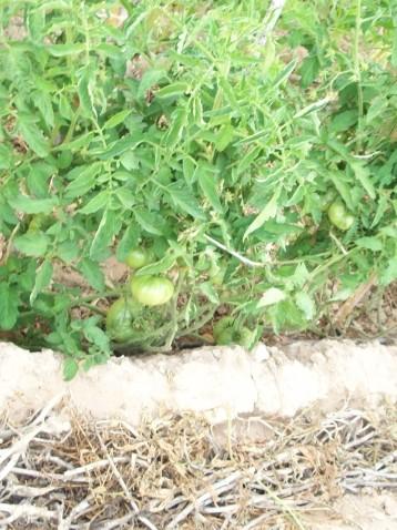 tomate-acolchado