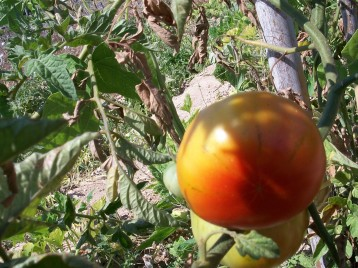 tomate-barbastro-11
