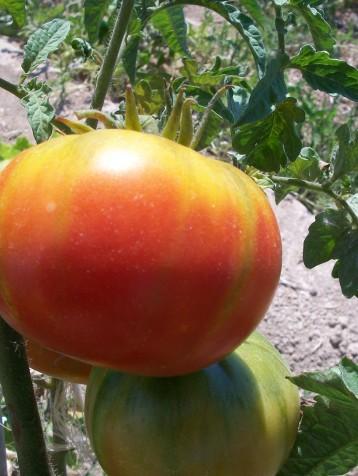 tomate-barbastro-222