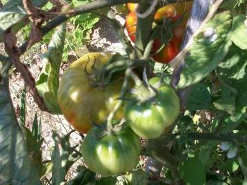 tomate-barbastro-333