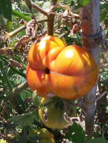 tomate-barbastro
