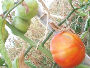 tomate-berbastro-maduro