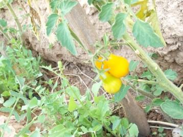 tomate-bombilla-amarilla
