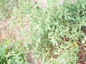tomate-chery-acolchado