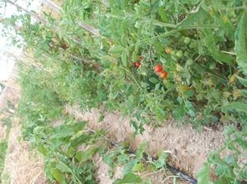 tomate-chery-berenjena-acolchado