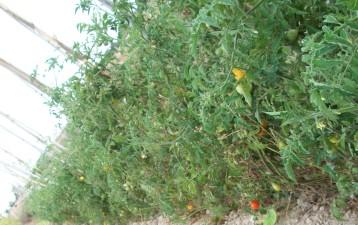 tomate-chery-bombilla-amarilla