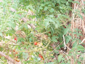tomate-chery-mini-acolchado-hierbas