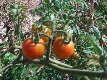 tomate-chery-y-caracol-grande