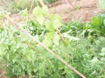 tomate-judia-acelga