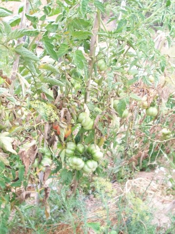 tomate-montserrat-cataluna-inmaduros
