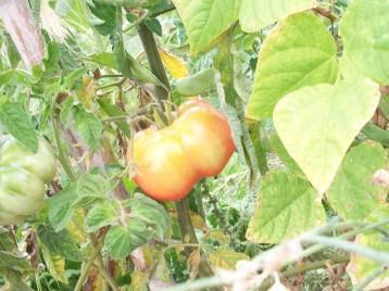 tomate-montserrat-judia