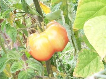 tomate-montserrat-judia2