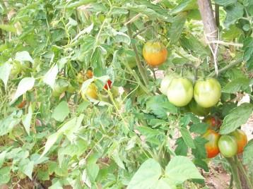 tomate-pera-judia