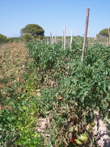 tomate-povedilla-333