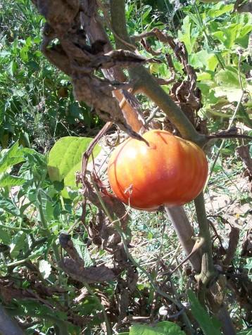 tomate-povedilla-4