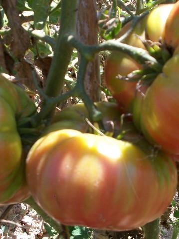 tomate-povedilla-656