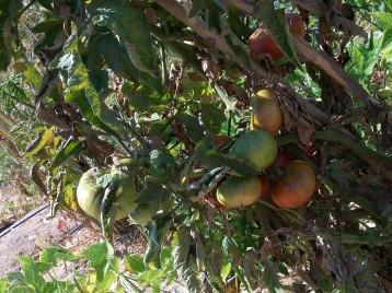 tomate-povedilla-765