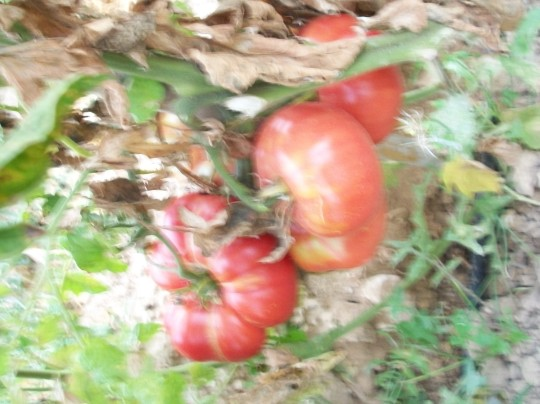tomate-povedilla-gigante