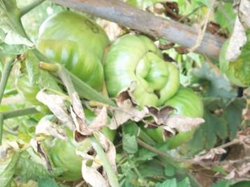 tomate-povedilla-inmaduros