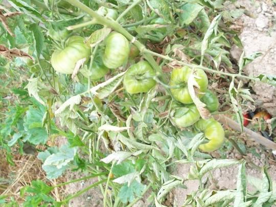 tomate-povedilla-inmaduros3