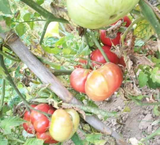 tomate-povedilla-maduros2