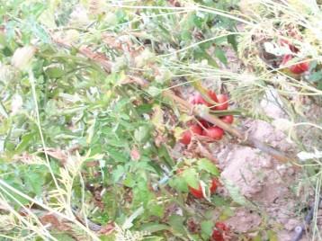 tomate-povedilla-para-semilla