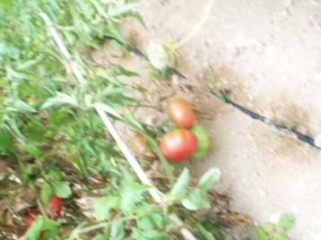 tomate-povedilla-rompe-canas