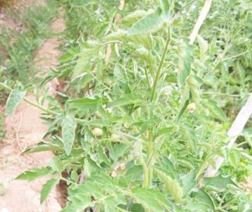 tomate-povedilla-sandia-azabache