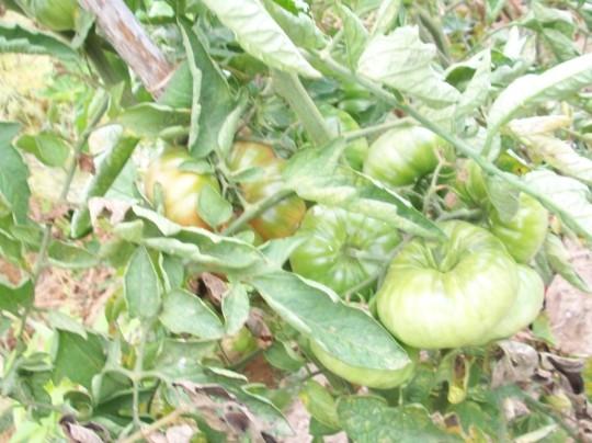 tomate-povedilla-semimaduros