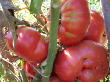 tomate-povedilla