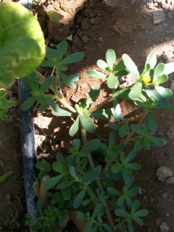 verdolaga-hierba-de-verano
