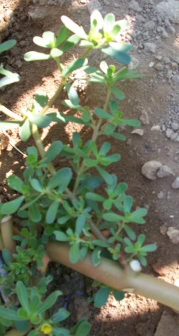 verdolaga-hierba