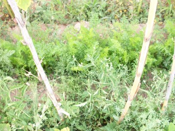 zanahoria-nantesa-tomate-povedilla