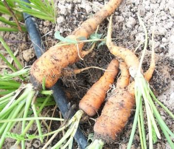 zanahoria-red-de-verano2