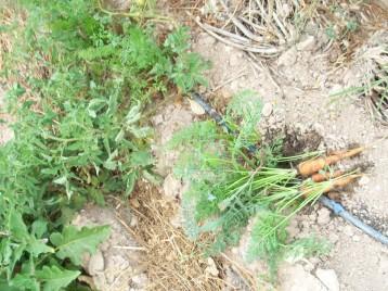zanahoria-red-de-verano3