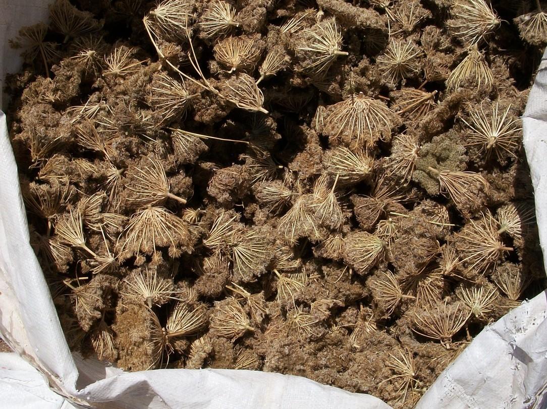 zanahoria-semilleros-2