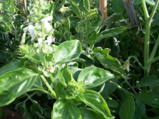 albahaca-verde-100_3359