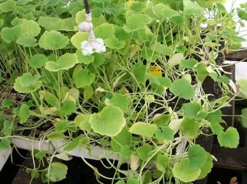 calabacin-plantones