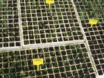 cebolla-plantones