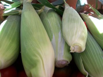 maiz-de-la-cruz-amarillo-mazorcas