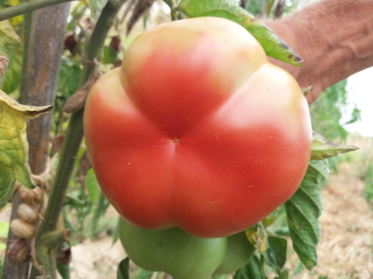 montserrat-tomate-2