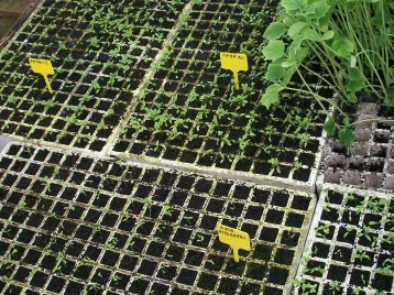 perejil-apio-plantones