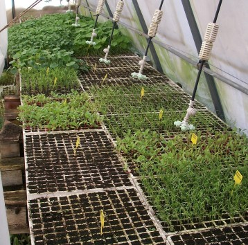plantones-acelga-hinojo-pepino-calabacin