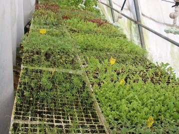plantones-hinojo-de-florencia